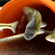 Technical proficiency study for OECD 229 with fathead minnows